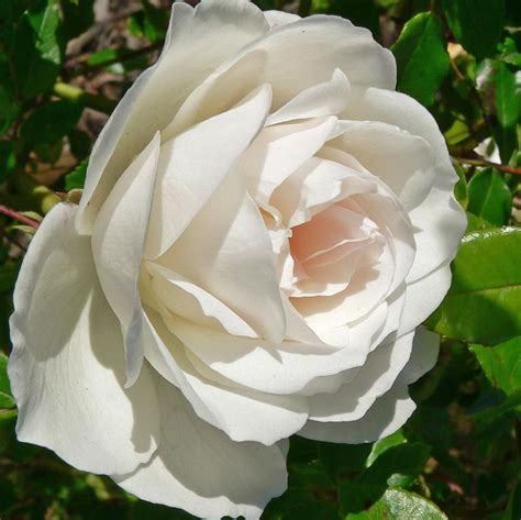 Sichtschutz Mit Pflanzen 3198 by Climbing Iceberg Roses Providence Ponds Country