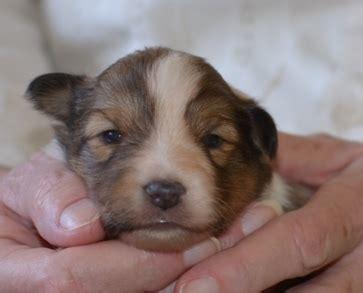 3 week puppy development puppy development of your sheltie from birth to 32 weeks