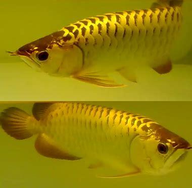 Cross Back Golden Arowana all about aquarium fish what makes golden crossback