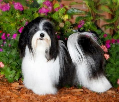 best havanese breeders in usa best 25 havanese grooming ideas on havanese puppies grooming tips