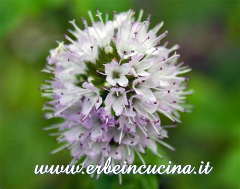 fiori di menta erbe in cucina fiore di menta glaciale
