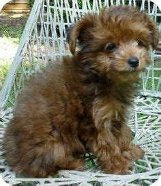 yorkie poodle rescue teacup dogs for free in category dogs puppies