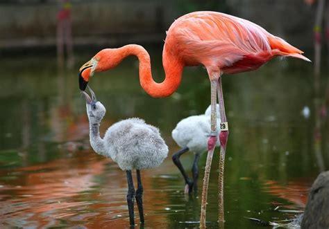 wallpaper with flamingo baby flamingo wallpapers baby animals