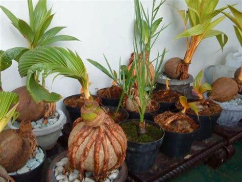 cara membuat zpt tanaman cara membuat bonsai kelapa bercabang bibitbunga com