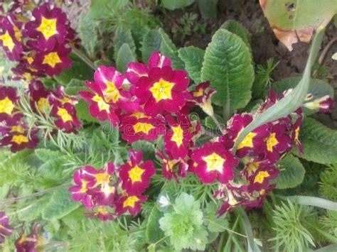 primula rossa fiore primula fotografia stock immagine di pianta giardino