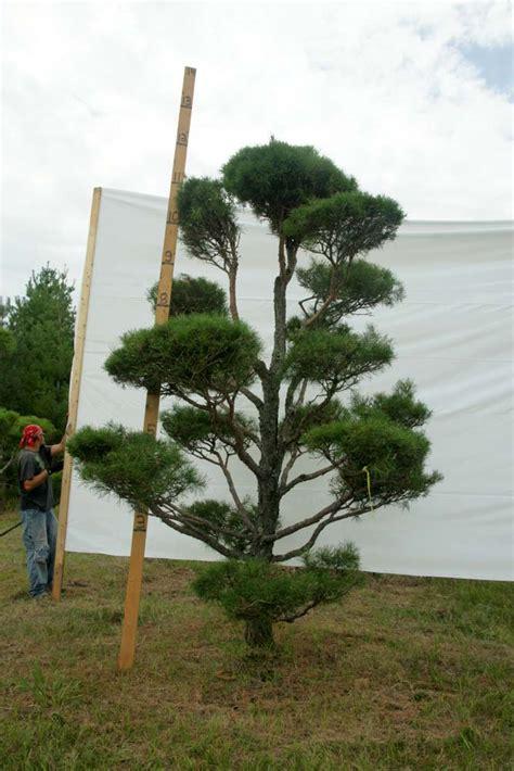 scotch pine topiary 187 scotch pine topiary tree 3 plants beautiful nursery