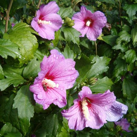 buy rose  sharon hibiscus syriacus  seeds