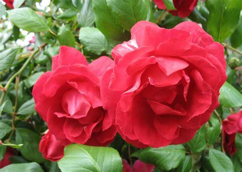 imagenes rosas grandes tiangu 193 em foco polo de produ 199 195 o de flores na ibiapaba