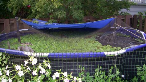 Small Backyard Pond File Back Yard Summer Tilapia Pond Jpg Wikimedia Commons