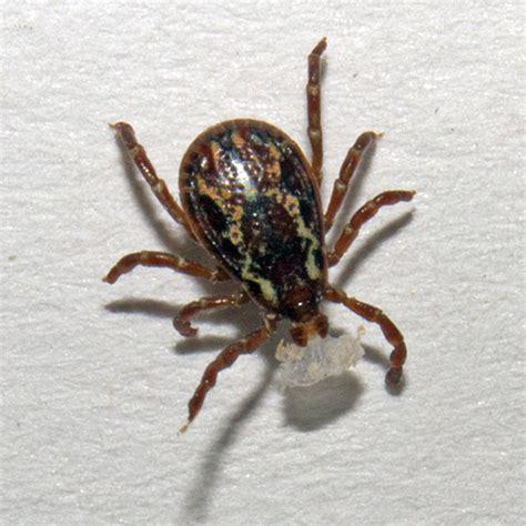 american tick american tick dermacentor variabilis bugguide net