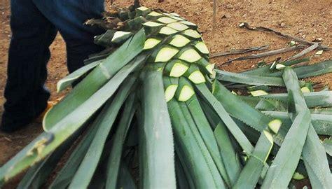 cual es la planta de washington el agave azul mucho m 225 s que el tequila el tiempo latino