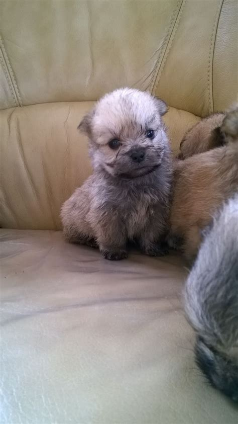 pomeranian x shih tzu puppies for sale pomeranian x shih tzu puppies ready now llanelli carmarthenshire pets4homes
