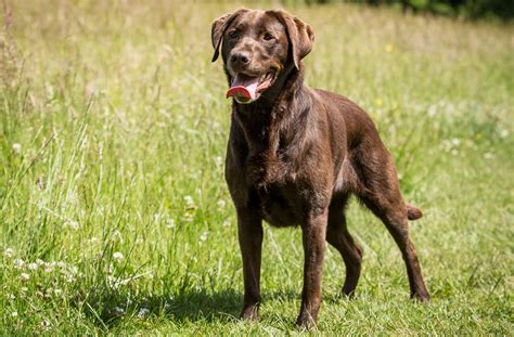 how to my labrador 15 ways to help your labrador stay slim