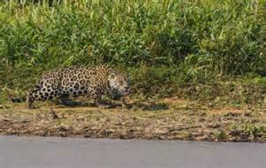 Do Jaguars Attack Humans Single Word Requests How Do You Describe These Animals