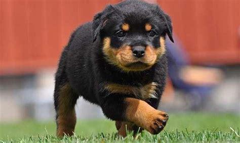 perros rottweiler la raza de perro rottweiler un perro con mala fama todo en wakyma