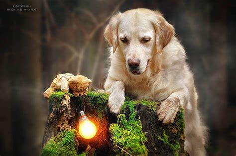 golden retriever teddy ภาพการผจญภ ยของน องหมา และ