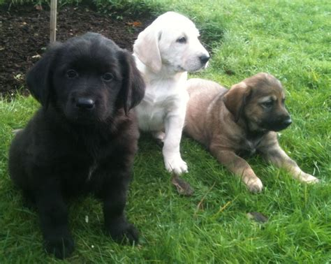 golden retriever and chocolate lab chocolate labrador x golden retriever puppies emsworth hshire pets4homes