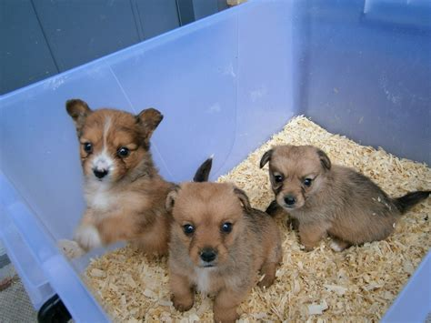 pomeranian cross puppies pomeranian chihuahua cross puppies stanmore middlesex pets4homes
