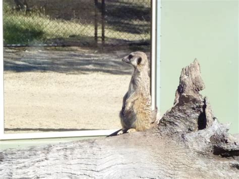 These Constantly Migrate In Search Of Food Marmoset And Meerkat Encounters Downs Zoo Brisbane