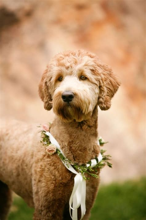 goldendoodle puppy haircuts 25 best ideas about goldendoodle haircuts on