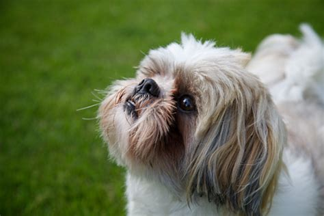 are shih tzu easy to potty shih tzu about how to breed