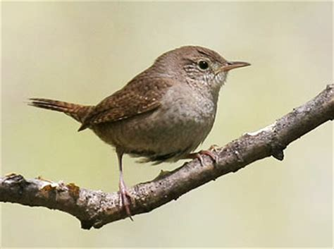 house wren song house wren nebraska bird library