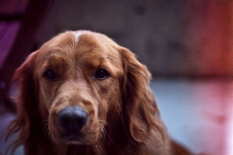 golden retriever whining 5 signs your golden retriever is stressed iheartdogs