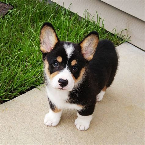 pembroke corgi colors moose the corgi instagram adorable tri color
