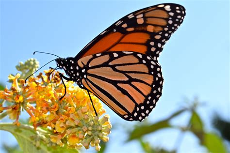 The Monarch Butterfly new jersey s key in the monarch migration 171 conserve