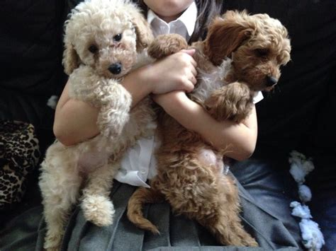 cavapoochon puppies for sale cavapoochon puppies for sale telford shropshire pets4homes