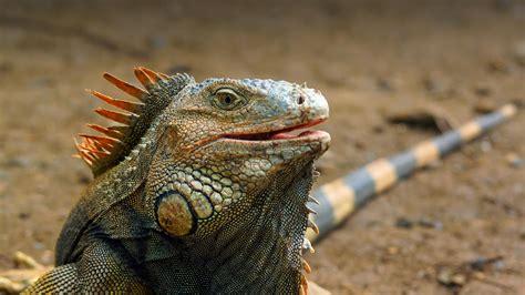 iguana san diego zoo animals plants