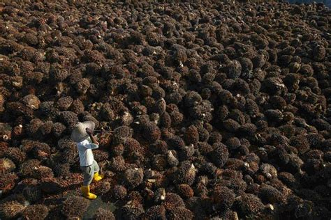 Minyak Kelapa Sawit Per Ton pencabutan bea keluar topang harga cpo wsj indonesia wsj
