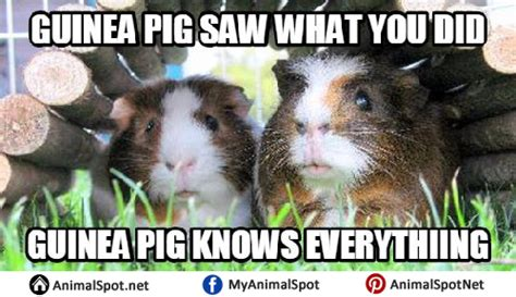Pig Meme - guinea pig memes
