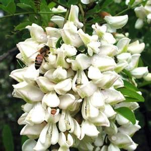 fiori d acacia fritti fiori di acacia fritti