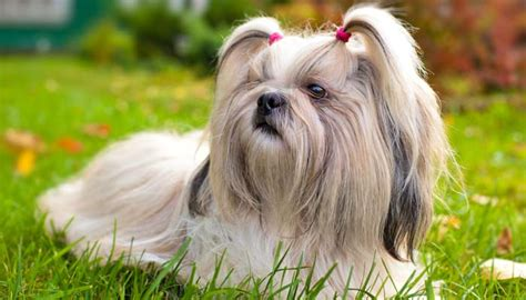 allergic to shih tzu top 5 best dogs for allergies top tips