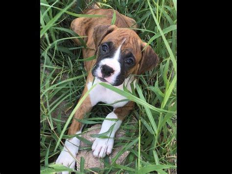 boxer puppies jacksonville fl hamlet glen boxers breeders jacksonville fl