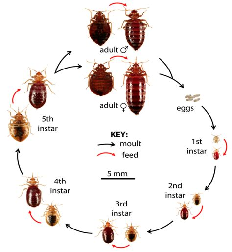 what color is bed bugs what do bed bugs look like