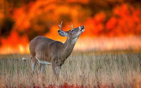 photo   deer  wildfire hd animals wallpapers