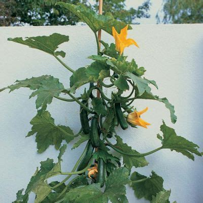 Faire Pousser Des Courgettes Verticalement by Buy Courgette Black Forest F1 Patio Kit 1 Kit From Our