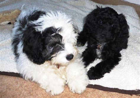 cockapoo puppies for sale in cockapoo rescue quotes