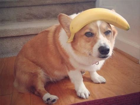 can dogs bananas can dogs bananas to eat paperwingrvice web fc2