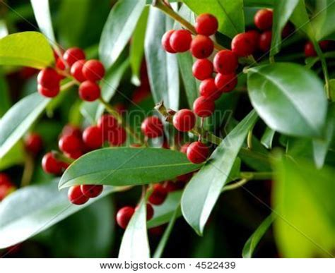 holly berry bush stock photo stock images bigstock