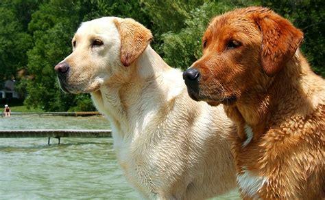 golden retriever c che differenza c 232 tra labrador e golden retriever nel mondo animale supereva