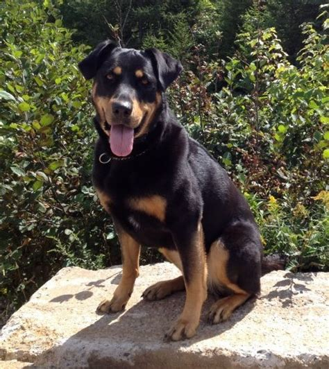 are rottweilers aggressive aggressive rottweiler rehabilitated by unleashed potential trainer unleashed
