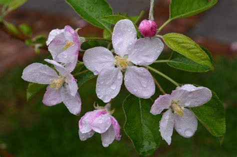 rosa blühende bäume 1716 die 64 besten blumen hintergrundbilder