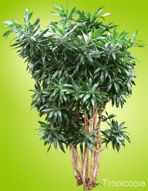 unique indoor plants houseplants for sale plant green plants awesome 17 best images about large houseplants on pinterest