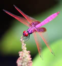 dragonfly colors magenta dragonfly from hong kong is trithemis