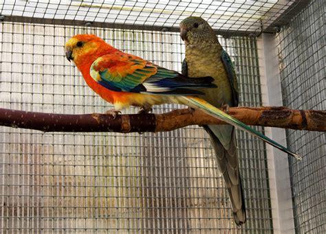 birds for sale san diego male red rump parakeet my rumped parrots my parrots moji papoušci parrot parakeet a bird