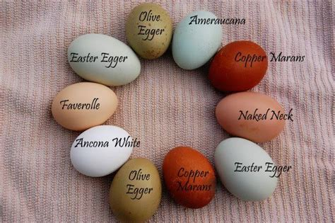egg colors ameraucana egg color chart eggs of a different color