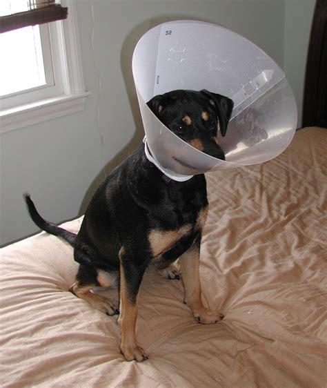 puppy cone file piper cone second degree skunk spray burns jpg wikimedia commons